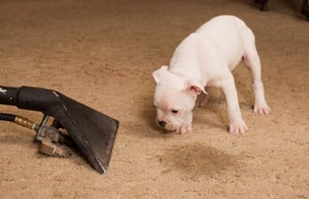 how to clean dog urine out of carpet